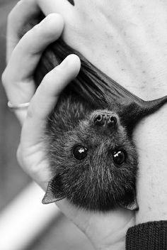 bat bats goth gothic cute animal animals nature mammal