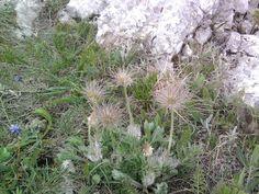 Сон-трава крымская. Все растения Крыма