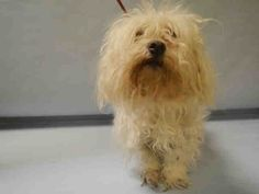 SAFE 3-11-2016 by For our Friends --- SUPER URGENT Manhattan Center LADY – A1066873  FEMALE, WHITE, MALTESE MIX, 14 yrs STRAY – STRAY WAIT, NO HOLD Reason OWNER DIED Intake condition EXAM REQ Intake Date 03/06/2016