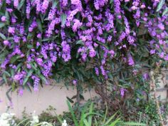 PLANT SPOTLIGHT – LILAC VINE/HARDENBERGIA VIOLACEA Right now Hardenbergia violacea 'Happy Wanderer' is blooming just outside my back door.  This evergreen vine is perfect for its deep purple fountain of color in mid to late winter into spring.