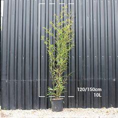 Black Bamboo - £35