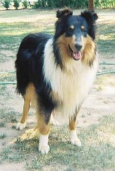 Probably my second pick for type of dog. A rough collie.