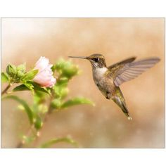 Dreamy Image of a Young Male Hummingbird Hovering Photography by Eazl, Size: 16 x 20, Brown