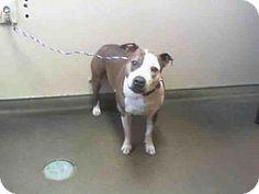 Las Vegas, NV - Pit Bull Terrier. Meet NINA, a dog for adoption. http://www.adoptapet.com/pet/15044591-las-vegas-nevada-pit-bull-terrier