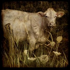 a very talented photographer Paintings I Love, Animal Paintings, Pretty Pictures, Art Pictures, Farm Animals, Animals And Pets, Cow Tales, Cow Painting, Watercolor Paintings