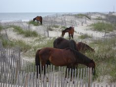 I really hope we get to see the horses! http://www.corollawildhorses.org/ (OBX2013)