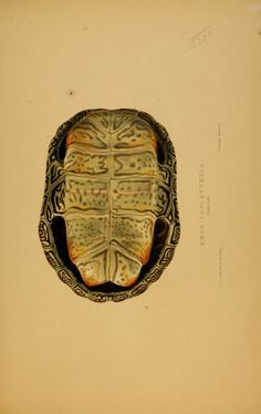 Tortoises, terrapins, and turtles drawn from life by James de Carle Sowerby and Edward Lear. Biodiversity Heritage Library