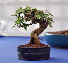 ivy bonsai