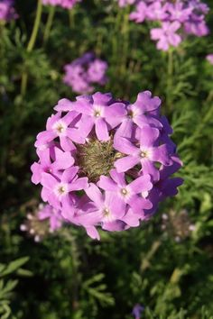 March 2017 - Showy prairie verbena at Guadalupe River State Park. Photo: Craig Hensley