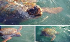 Loggerhead Turtles in Argostoli Bay