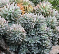 """Graptopetalum paraguayense 'Pinky' As a huge fan of """"cottage gardens"""" & heirloom flowers, I have to admit it has taken me years to appreciate all the succulents so popular here in arid California. The first time I saw Graptopetalum paraguayense 'Pinky' without hesitation I fell in love with its densely crowded leaves in sensual sunset hues forming highly attractive trailing rosettes. This was a succulent I could really admire. It just looked, well, so artistic. Easy & carefree 3-10"""" tall…"""