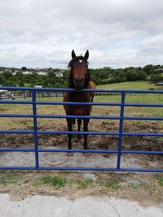 Connemara, Horses, Animals, Animaux, Horse, Animal, Animales, Animais