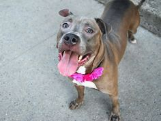 CHANELL - A1086984 - - Manhattan  Please Share:TO BE DESTROYED 08/30/16: A volunteer writes: Dressed in the most gorgeous coat I struggled during our walk to figure out what color to call it as it's so unique. I finally settled on Pewter as a description. She's gorgeous! Chanell was working so hard in her kennel to get me to notice her, and truthfully she's so beautiful you can't miss her – I told her she didn't have to work that hard! Ch