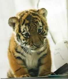 Baby Cub...So.. Cute....................... <3 <3 <3...Repin this if you love this specie....!!!!!