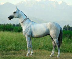 Akhal teke stallion, Pirakhmed.