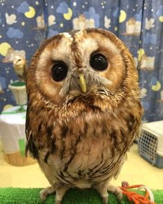 Cute Baby Owl, Baby Owls, Cute Baby Animals, Animals And Pets, Baby Baby, Owl Photos, Owl Pictures, Beautiful Owl, Animals Beautiful
