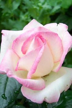 "~""Princess Grace"" Rose"