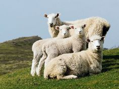 Sheep Family Portrait Photograph by Cameron Zegers