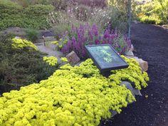 Sulfur Buckwheat, Eriogonum umbellatum is a very drought tolerant Idaho native.