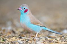 The blue waxbill (Uraeginthus angolensis), also called blue-breasted…
