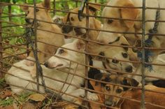 The dog meat trade is a vile attack on nature, perpetuated by criminals seeking to make money from the abuse of animals. Network for Animals has fought the dog meat trade since 1997, and our latest raid occurred on March 28th 2016.