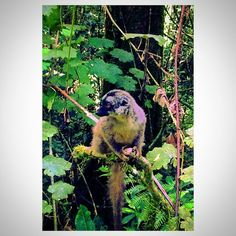 Little mister Lemur  Ung og nysgjerrig  #lemur #lemuria #adventure #rainforest #regnskog #forest #skog #natur #nature #animal #dyr #creature #andasibe #madagascar #madagaskar #island #africa #afrika #studytrip #studietur #student #vidhøgskole #stavanger #norge #norway by viljamundheim @enthuseafrika