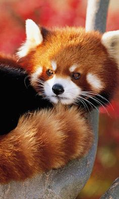 Red Panda- yup I'm going to need to pet one of these!