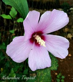 Flor de Hibiscus syriacus, Rosa de Siria