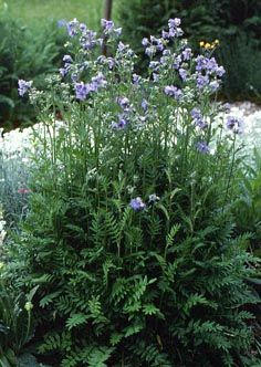 Jacob's Ladder (Polemonium caeruleum): Likes shade or dappled sun. Purple-blue flowers are held high above the fern-like foliage on slender stalks, and bloom late spring to early summer (June-July?). Spreads by self-seeding.