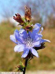 Čekanka obecná,Cichorium intybus