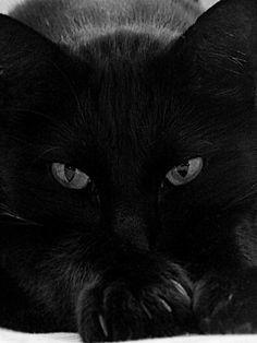 Beautiful Black Cat - So chic I luv black cats! Pretty Cats, Beautiful Cats, Animals Beautiful, Cute Animals, Cool Cats, I Love Cats, Crazy Cat Lady, Crazy Cats, Tier Fotos