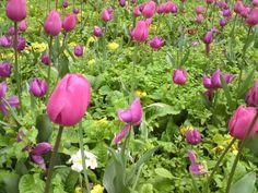 primrose underplanted tulips