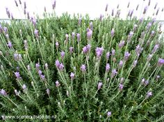 About garden design - lavandula dentata