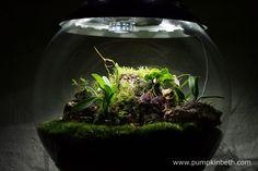 My Miniature Orchid Trial BiOrbAir Terrarium as pictured on the 26th May 2016. Inside this terrarium, Masdevallia decumana, Masdevallia rechingeriana, and Dryadella simula, are all in flower.