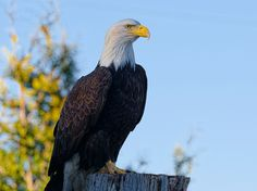 Majestic Perch by Evan Spellman on YouPic Bald Eagles, River, Bird, Birds, Rivers