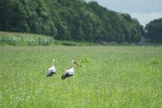 Storks.