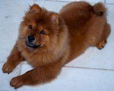 Chow Chow Best Dogs For Families, Family Dogs, Black Tongue, Chinese Dog, Chow Chow Dogs, Lion Dog, Like A Lion, King Charles Spaniel, Mans Best Friend