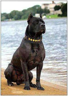 296 Best Black Pitbull Images In 2018 Pit Bull Terriers Pit Bulls