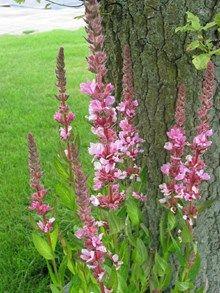 """Kattehale Lythrum salicaria """"Blush"""". Høj staude med slanke aks, der bærer lilla blomster i en lang periode fra juli-september. 80 cm høj, behøver ingen opbinding. Blomsterne tiltrækker bier og sommerfugle. Kattehale trives bedst i sol eller let skygge og på et fugtigt voksested – den tåler megen fugt. Meget sød og anvendelig i buketter. Bladene får kønne høstfarver.  Vi anbefaler at der plantes ca. 5 planter/m2."""