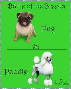 """time for....""""Battle of the Breeds"""" Which is your favorite? #pug #poodle #battleofthebreeds"""