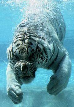 tiger swiming.