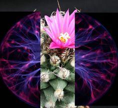 Crônicas Americanas: A flor e o cientista  (a rosa atômica)