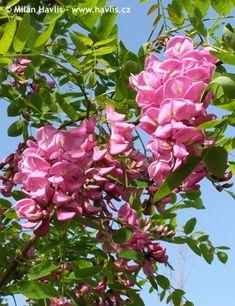 "Robinia x margaretta ""Pink Cascade"""