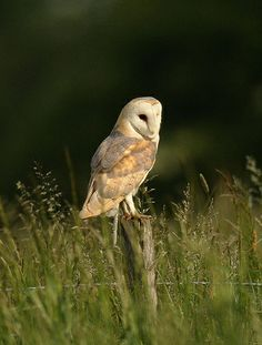 """Barn Owl on the lookout www.mikerae.com on Flickr """"Barn Owl on the lookout in a Suffolk meadow, an early morning in June"""""""