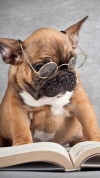 Buldog francuski w okularach, French Bulldog Puppy ❤� #buldog francuski w okularach, French Bulldog Puppy ❤️