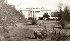 Woodrow Wilson scoured the budget looking for any way he could to cut costs, and he found it in an odd place: the groundskeeping costs of the White House Lawn. He enlisted the help of a flock of sheep. The sheep walked the White House lawns grazing on trees, shrubs and grass, and when summertime came along, Wilson shaved their wool and sold it to raise money for the Red Cross relief effort overseas.