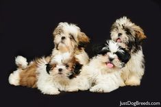 I just want a bunch of shih tzu puppies