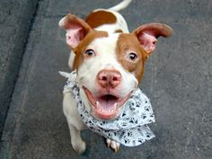 TO BE DESTROYED - 08/21/14 Manhattan Center ***NEW PHOTO***  My name is RALPH. My Animal ID # is A1010764. I am a male brown and white pit bull mix. The shelter thinks I am about 8 MONTHS old.  I came in the shelter as a STRAY on 08/16/2014 from NY 10459, owner surrender reason stated was STRAY. https://www.facebook.com/Urgentdeathrowdogs/photos/a.611290788883804.1073741851.152876678058553/858083877537826/?type=3&theater