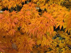 Acer palmatum - Shishi gashira Dwarf Japanese Maple Tree Lions Head Blerick Trees Buy Online Trees Advanced Trees, Screening Plants, Fruit T...