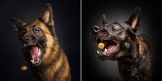 Using a unique technique, the shots are captured at the exact moment the adorable pooches attempt to catch an airborne piece of food. The dogs appear surprised, happy, sad, confused – and sometimes even so blasé they miss the treat entirely. The images were taken by Christian Vieler, a photograp